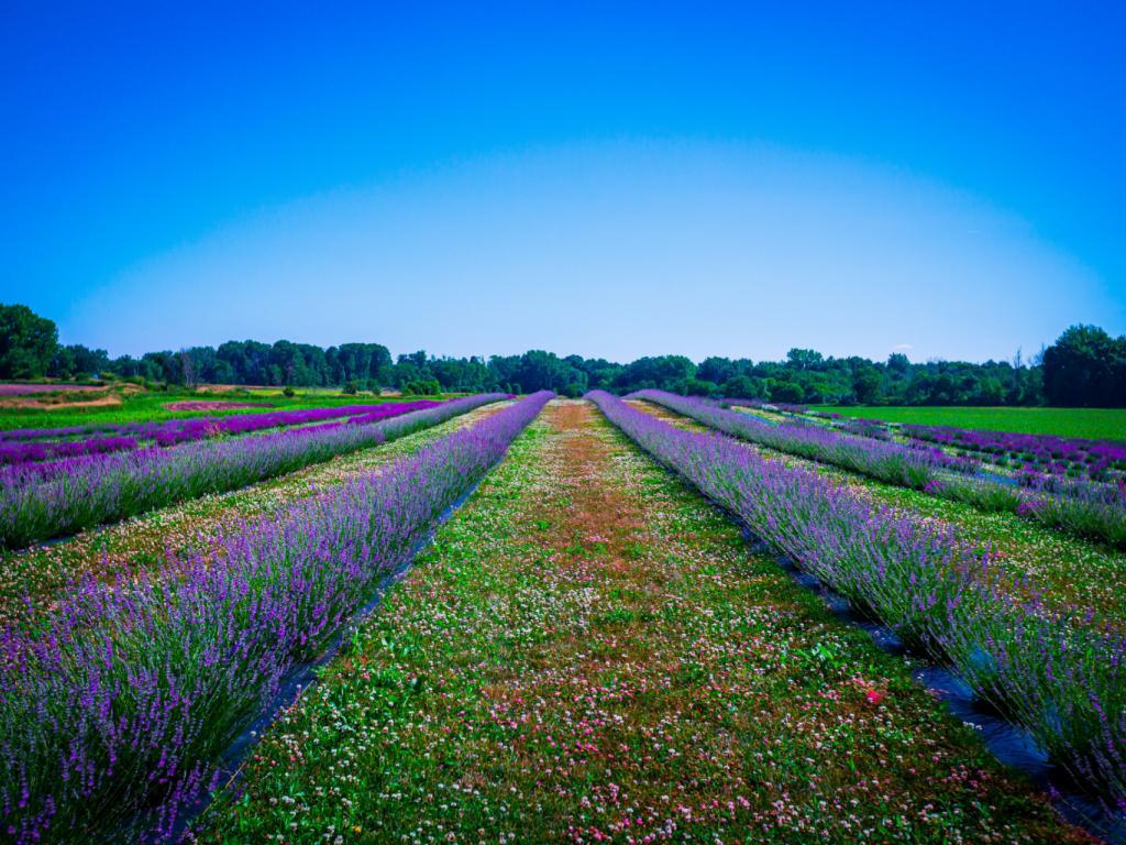 Northeast Ohio Lavender Trail