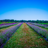 Northeast Ohio Lavender Trail